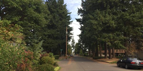This is a photo of Douglas Fir trees in a Portland neighborhood.