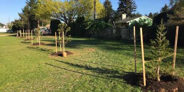 A row of newly planted trees at Powell Butte Elementary