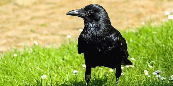 A raven sitting in a Portland park.