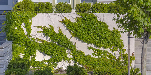 Photo of vines growing up the side of a building