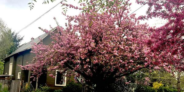 A cherry tree blooms bright pink blossoms in front of a house.