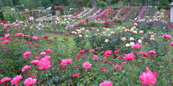 Photo of the Rose Garden in Washington Park. The image shows hundreds of roses in full bloom.