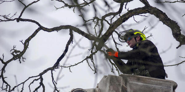 A worker with Portland Parks & Recreation's Urban Forestry division addresses one of Portland's hundreds of fallen trees in February 2021.