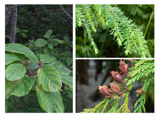 Images of trees to be planted on site, including (left) cascara, (top right) Western hemlock, and (lower right) Western red cedar.