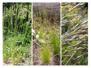 Pictures of the different types of grasses that will be used in re-seeding the open space to prevent erosion, including (left to right) Blue wildrye, slender hairgrass, and California brome.
