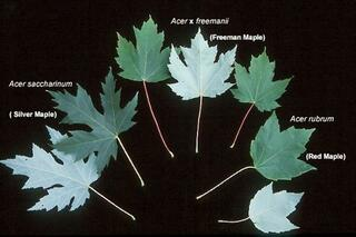 Acer freemanii is a naturally occurring hybrid of Acer rubrum and Acer saccharinum.