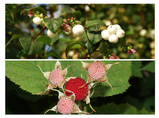 Photos of native shrubs that will be planted in the area including Snowberry (top) and Thimbleberry (bottom).