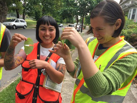 Urban Forestry staff member shows volunteer how to identify a dogwood by pulling leaf apart to reveal threads of latex holding it together