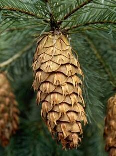 Close-up image of the cone of a Douglas-fir tree.