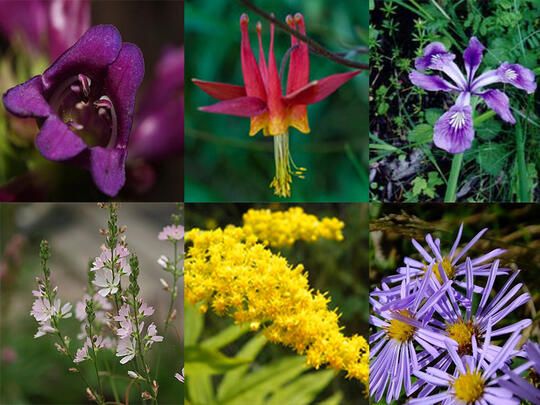 A grid of photos showing the flowers to be planted along with grasses in the construction area in spring 2021. Top row: purple serrulate penstemon, red and yellow western columbine, purple Oregon iris. Bottom row: light pink meadow checkermallow, yellow goldenrod, and purple and yellow Douglas aster.