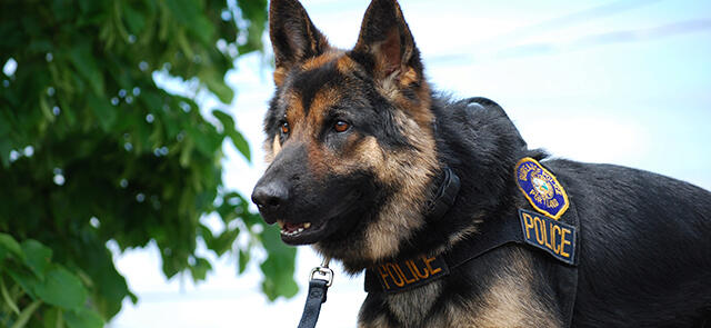 Photo of a police canine
